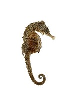 Sea-horse-little, hip-fanny-campus spec , dried, at the side, animal, sea-bull, fish, bone-fish, preparation, fact-reception, free-plates,