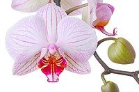 Orchid, Phalaenopsis spec , Detail, blooms, buds, boy-herb-plant, Orchidaceae, orchid-bloom, petals, knows, prime, nature, Floristik, symbol, beauty, ...