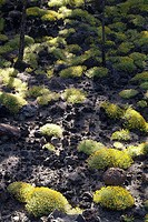 Spain, Canaries, island Tenerife, Montana de Abeque, forest, detail,