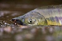 USA, Alaska, brook, water shallow, Keta-Lachs, Oncorhynchus keta, detail, head, spawn-hike, upstream, North America, southeast-Alaska, southeast, Alas...