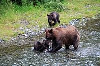 USA, Alaska, Fish Creek, river, coast-brown-bears, Ursus arctos, females, young, fish, eats, North America, southeast-Alaska, Alaska-Panhandle, Inside...