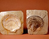 Bivalve fossils. Amussium Cristatum. (5,5 cm) Pliocene. Barcelona. Spain