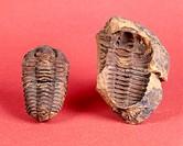 Fossil trilobites. Calymene. (5,5 cm long) Devonian. Morocco.