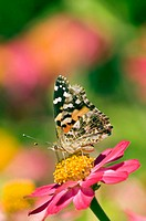 American Painted Lady on Zenia, San Juan Islands, Washington, USA