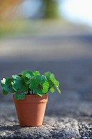 Flower pot with clover, close-up, selective focus (thumbnail)