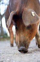 Wild boar sniffing at the ground, close-up, selective focus