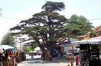 Cedar tree in the town of Ehden, Lebanon