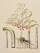 botany, vegetable, Asparagus, copper engraving, coloured, from Hortus Eystettensis, by Basilius Besler 1561_ 1629, Eichstaett, 1613, historic, histori...