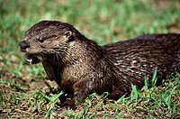 North American river otter in a field