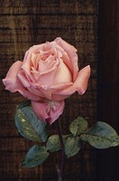 Close-up of a Nancy Reagan Rose