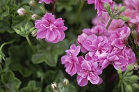Close-up of geranium flowers