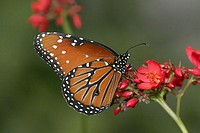 Close-up of a Queen Butterfly pollinating a flower Danaus gilippus