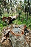 Fallen log of Jarrah, (Eucalyptus marginata), Myrtaceae, Myrtle family. This Jarrah tree is laying in the conserved area around the famous King Jarrah...