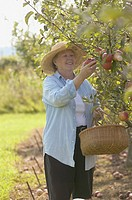 Senior woman picking apples with basket