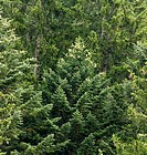 Fir trees, close-up
