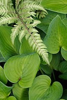 Fern and Plantain Lily (Hosta sp.)