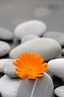 Calendula blossom between stones