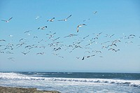 USA, California, flying pelicans