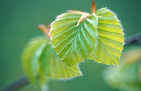 Beech tree (Fagus sylvatica) leaf in spring. Bavaria, Germany
