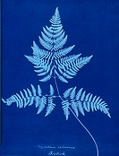 Taken from an album of ferns published in 1853 for presentation to CSA by Anna Atkins, a pioneering figure in photography, and her friend, Anne Dixon ...