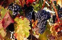 Vineyards, Laguardia. Rioja Alavesa, Álava, Euskadi, Spain