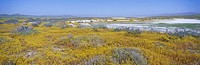 Panoramic view of white salt and desert gold yellow flowers at Soda Lake in Spring, Carrizo Plain National Monument