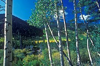 Aspens, San Juan National Forest
