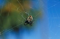 Spider in Web (thumbnail)