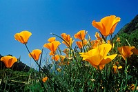 California Poppy in bloom (thumbnail)