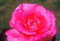 Close up of rose in bloom