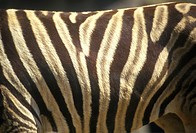 Close-up of Zebra stripes