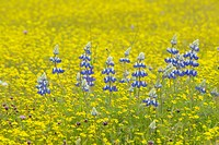 Purple lupine and desert gold yellow flowers in brightly colored spring field