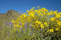 Yellow and purple desert flowers blossoming in spring