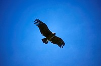 Condor in flight in blue sky