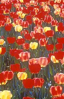 Field of Tulips, Washington, D C