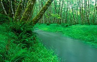 Quinault pacific rainforest, brook through aspen forest, Olympic National Park. Washington, USA