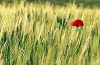 Poppy. Val d´Orcia, Toscana, Italy
