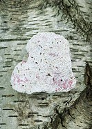 Heart shaped piece of coral on bark background