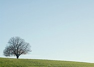 Bare tree, field, and blue sky
