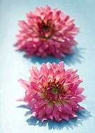 Two dahlia flowers