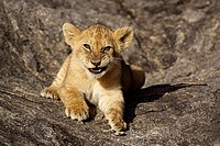 AFRICAN LION cub Panthera leo resting on rocky outcrop