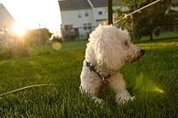 Bichon Frise lying on the grass