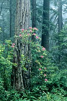 Pacific Rhododendrons (Rhododendron macrophyllum) and Redwoods (Sequoia sempervirens). Redwood National Park. California. USA