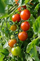´Sweet Million´ Cherry Tomatoes (Lycopersicon lycopersicum ´Sweet Million´). McClendon, Bellingham, WA.
