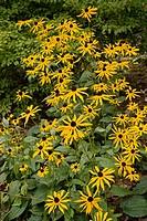 Black_eyed Susans (Rudbeckia laciniata). Van Dusen, Vancouver, BC.