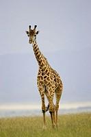 Giraffe walks across the Masai savanna