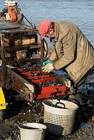 Fisherman grading mussels in tidal harbour, Norfolk, UK