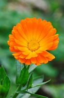 Calendula officinalis, close-up