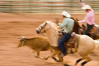 Two cowboys on horseback roping cattle blurred motion