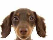 Wiener Dog brown